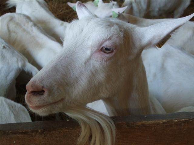 Goat Shed Design
