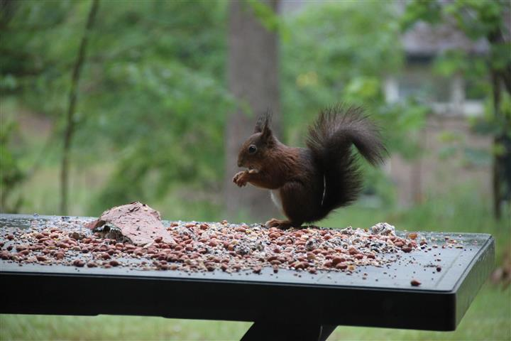 squirrel 1a (Small)