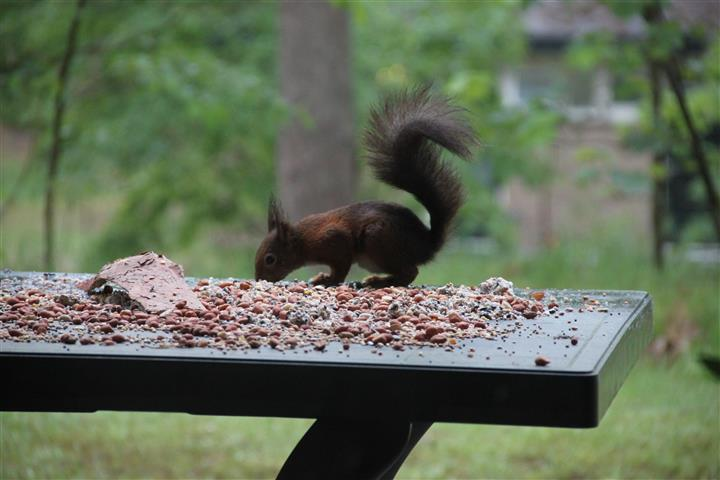 squirrel 1f (Small)