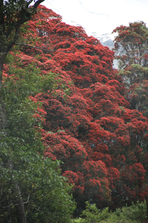 Rata The Other New Zealand Christmas Tree Local Heart Global Soul