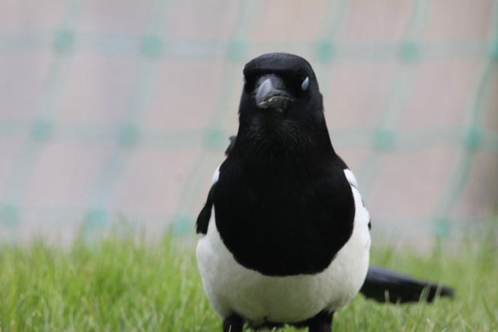 Bird, Black, White, Indigo