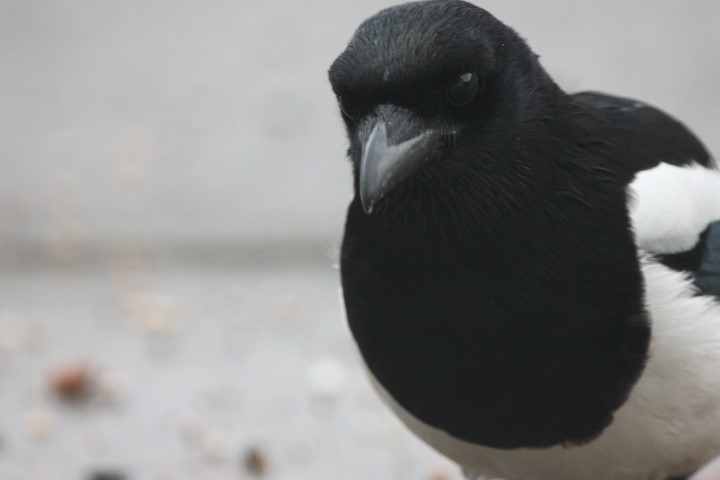 Bird, Black, White, Indigo